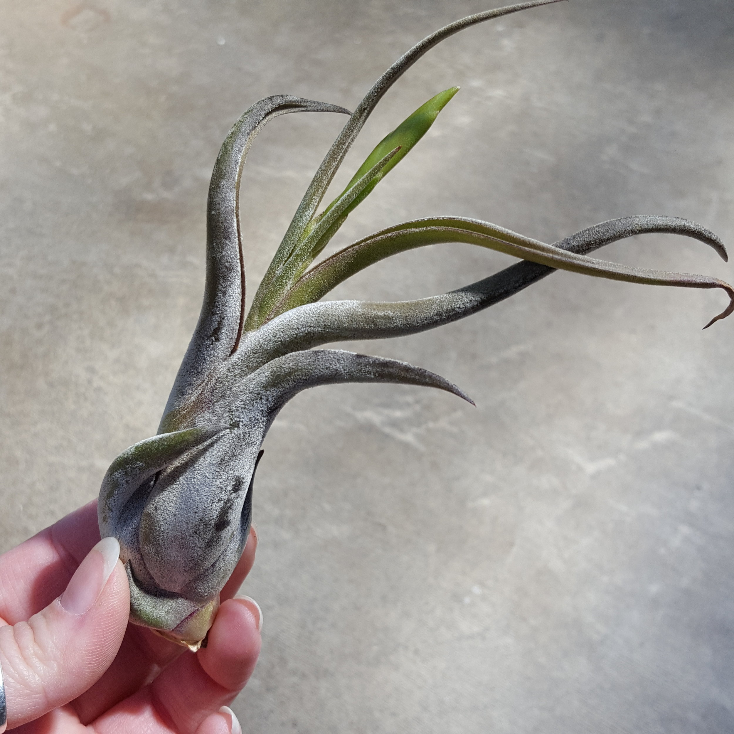 Tillandsia Pseudobaileyi- Native to Mexico, Guatemala, and El Salvador.
