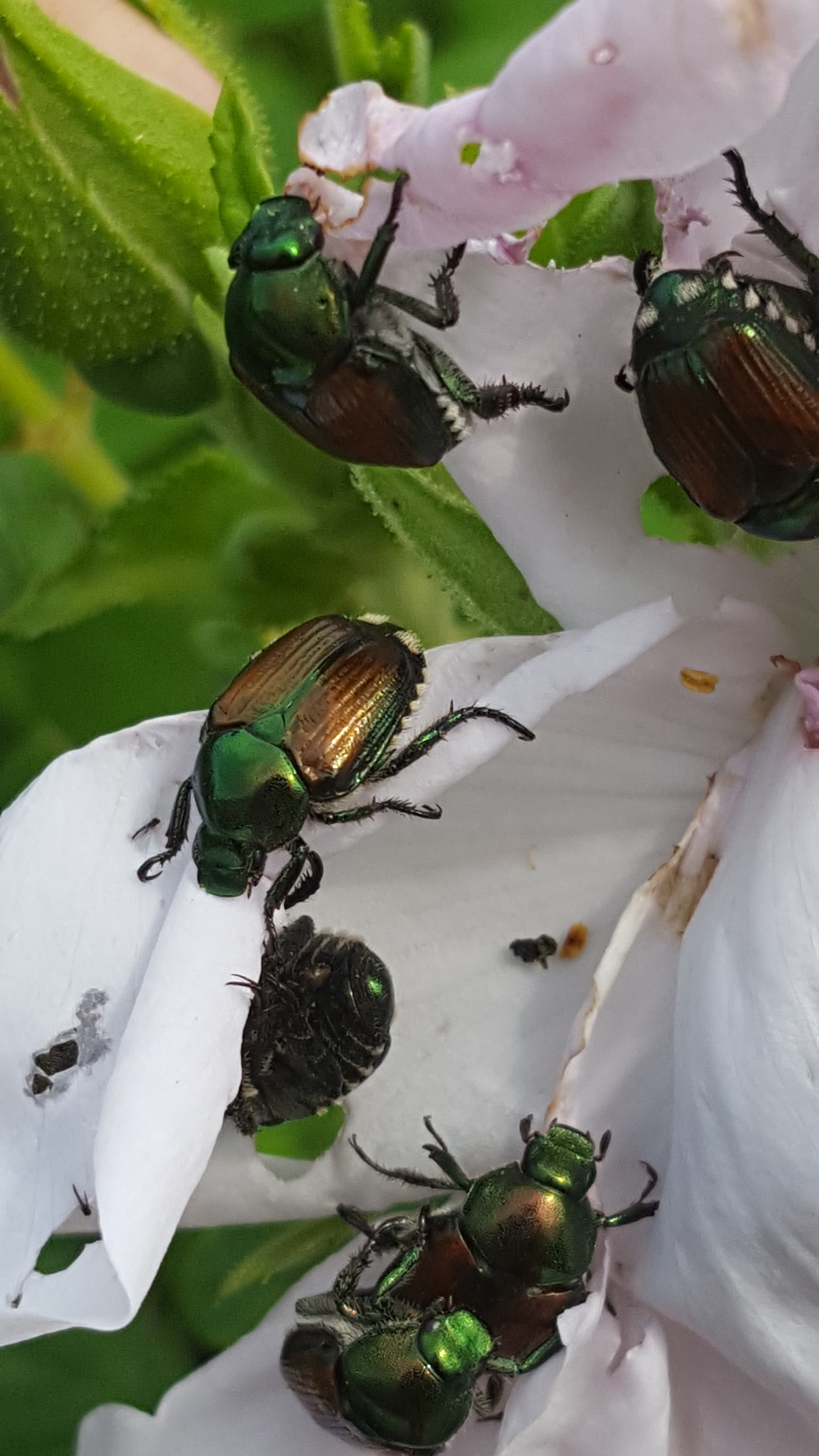 Japanese Beetles Feasting on Rose Flower