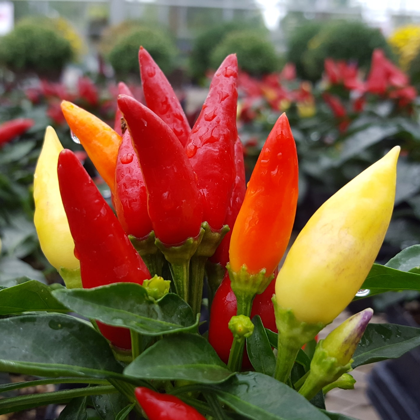Blaze Ornamental Pepper