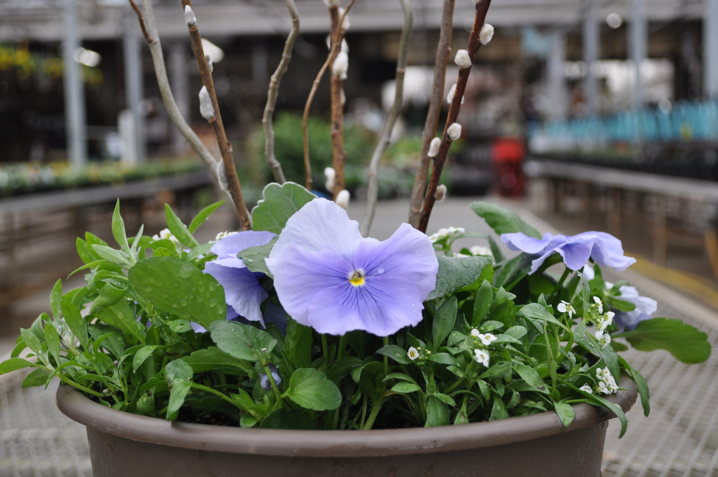 Spring Pansy Container Garden