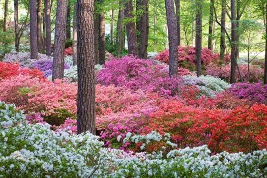 Calloway+Gardens+azaleas.jpg