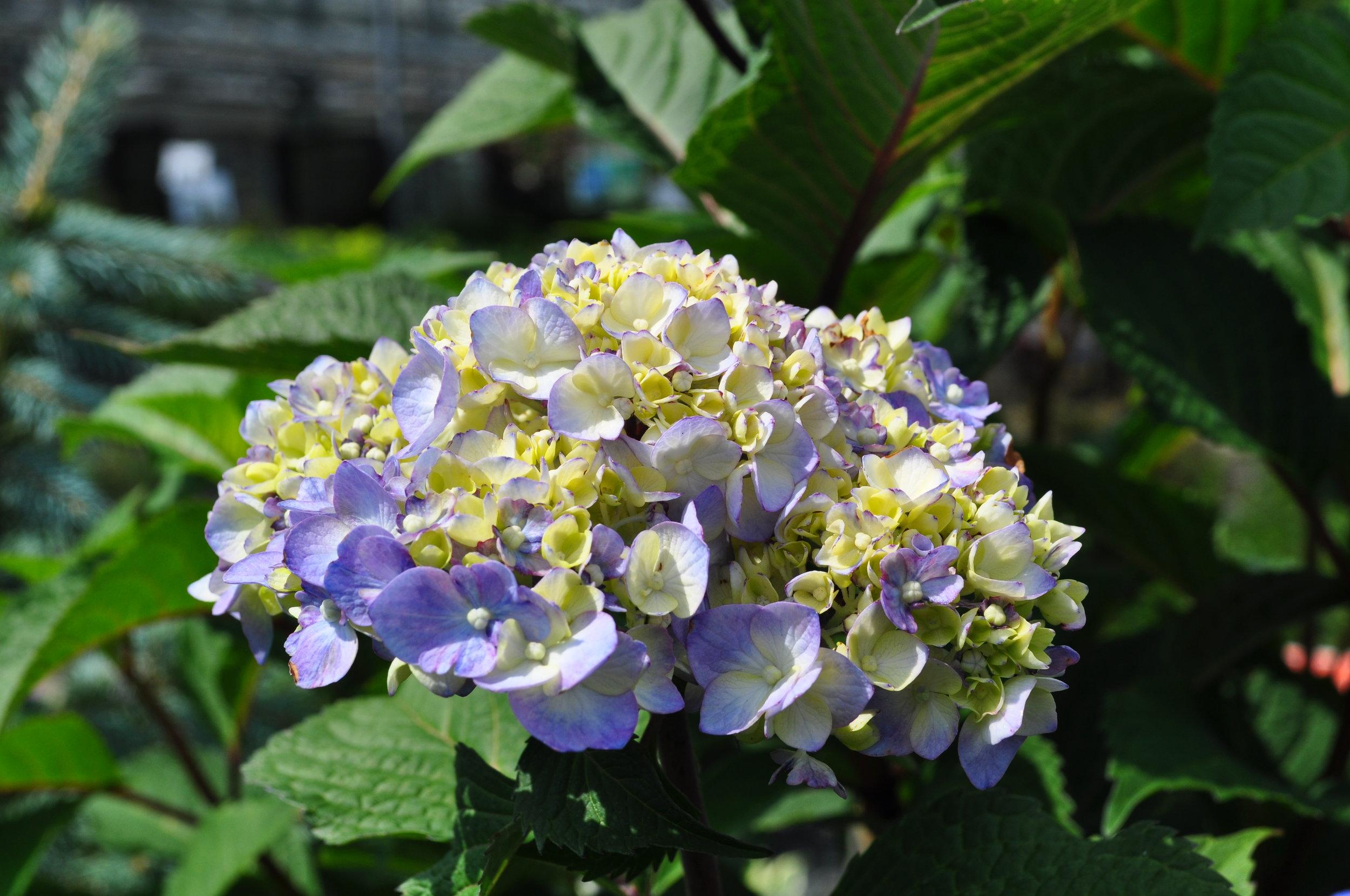 BloomStruck Hydrangea