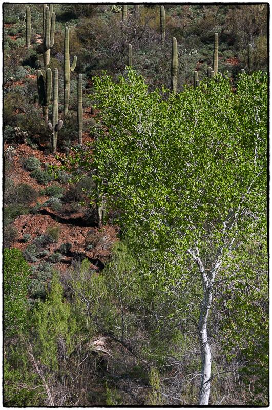 Aspen in Saguaro Forest_JewelCreek-_DSC1594-2-Edit.jpg
