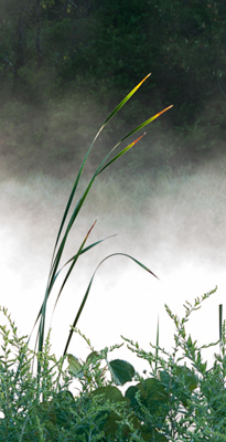Golden-Reed-Tips.jpg