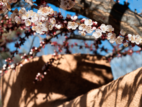 Cherry Blossom Adobe_.jpg