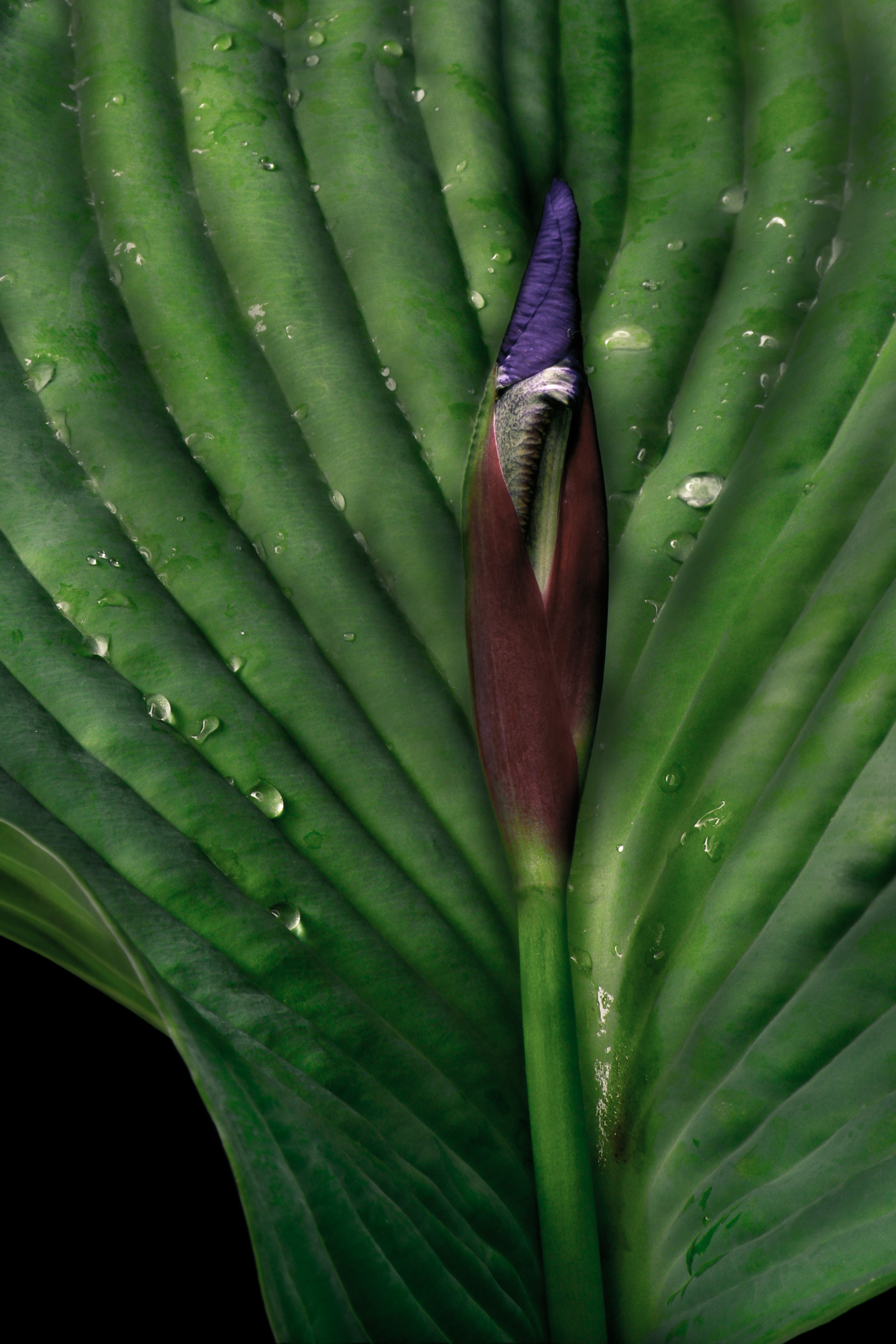 Iris in the Hosta