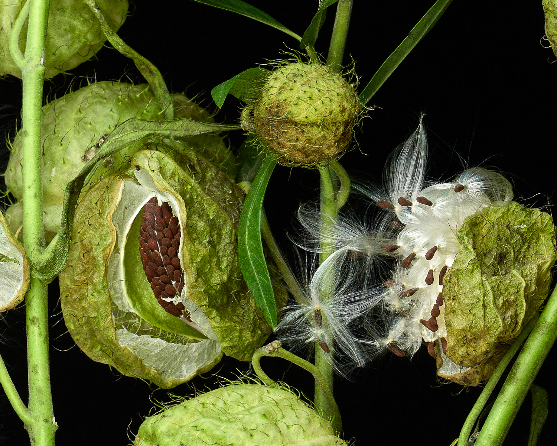 milkweed3_c2.jpg