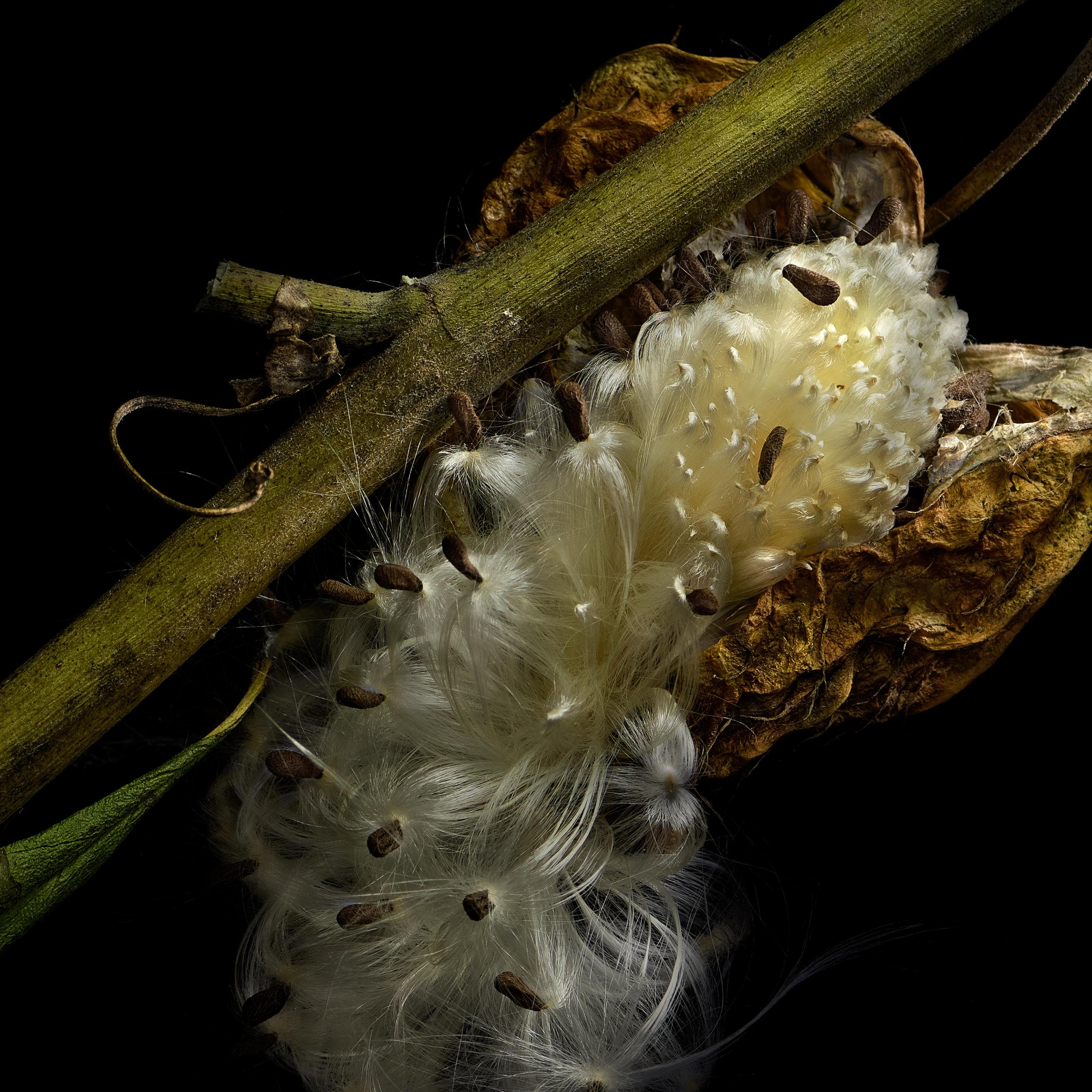 Milkweed 9