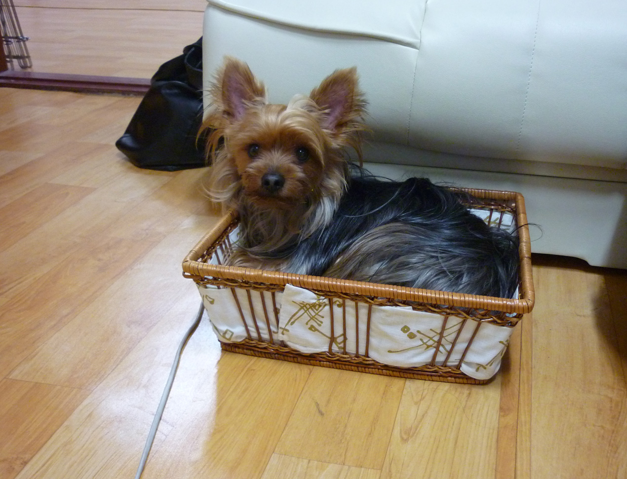 Little Barney has decided that our clean socks basket makes a nice home. Crazy!