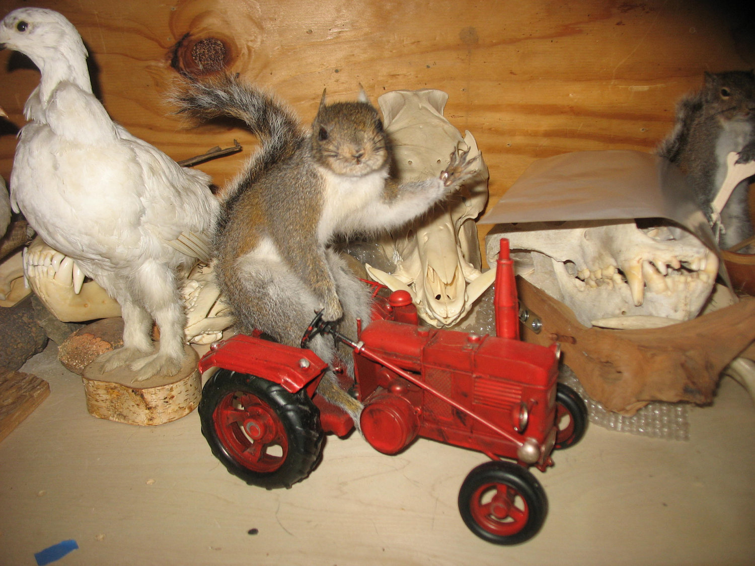 Taxidermy Squirrel Driving a Tractor, & His Chums