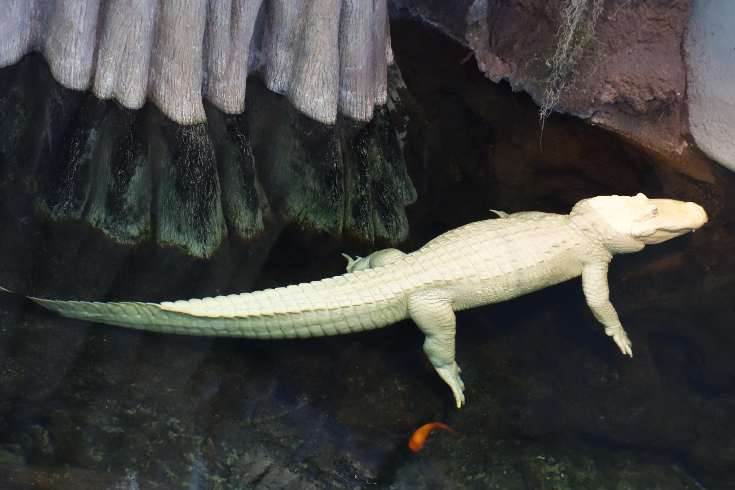 DSC00534 Claude the Albino Alligator.JPG