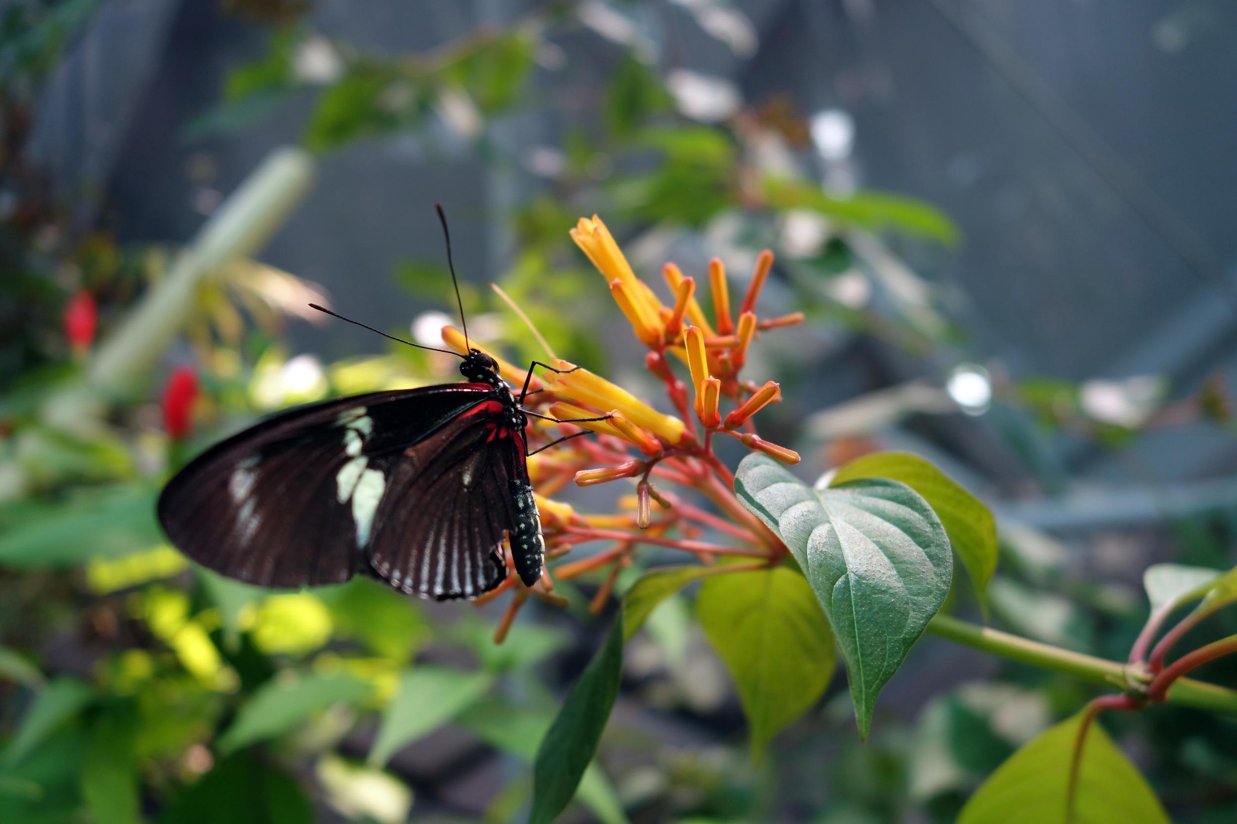 DSC00714 Close Up Butterfly Body.JPG