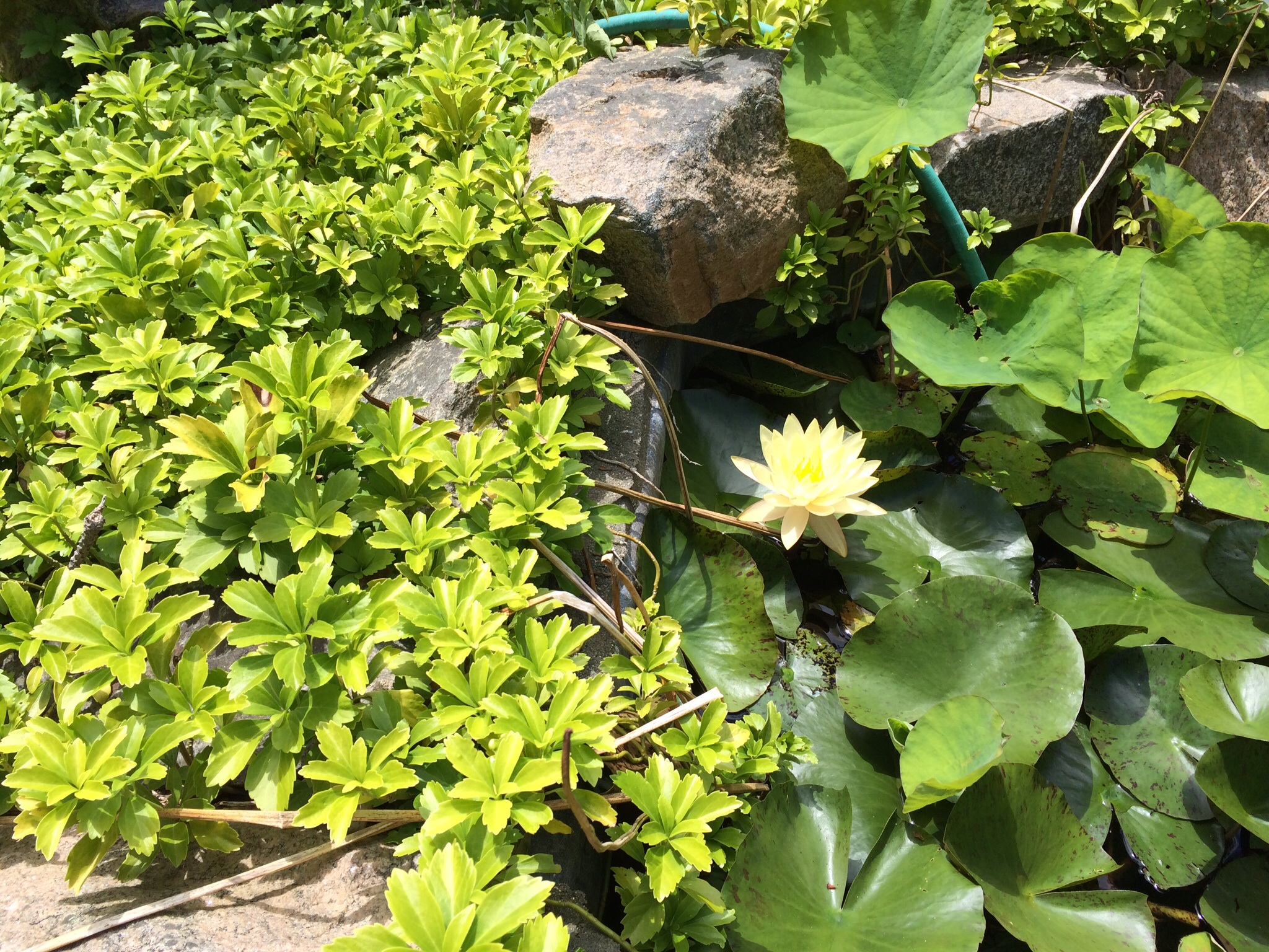 A waterlily in the Koi pond