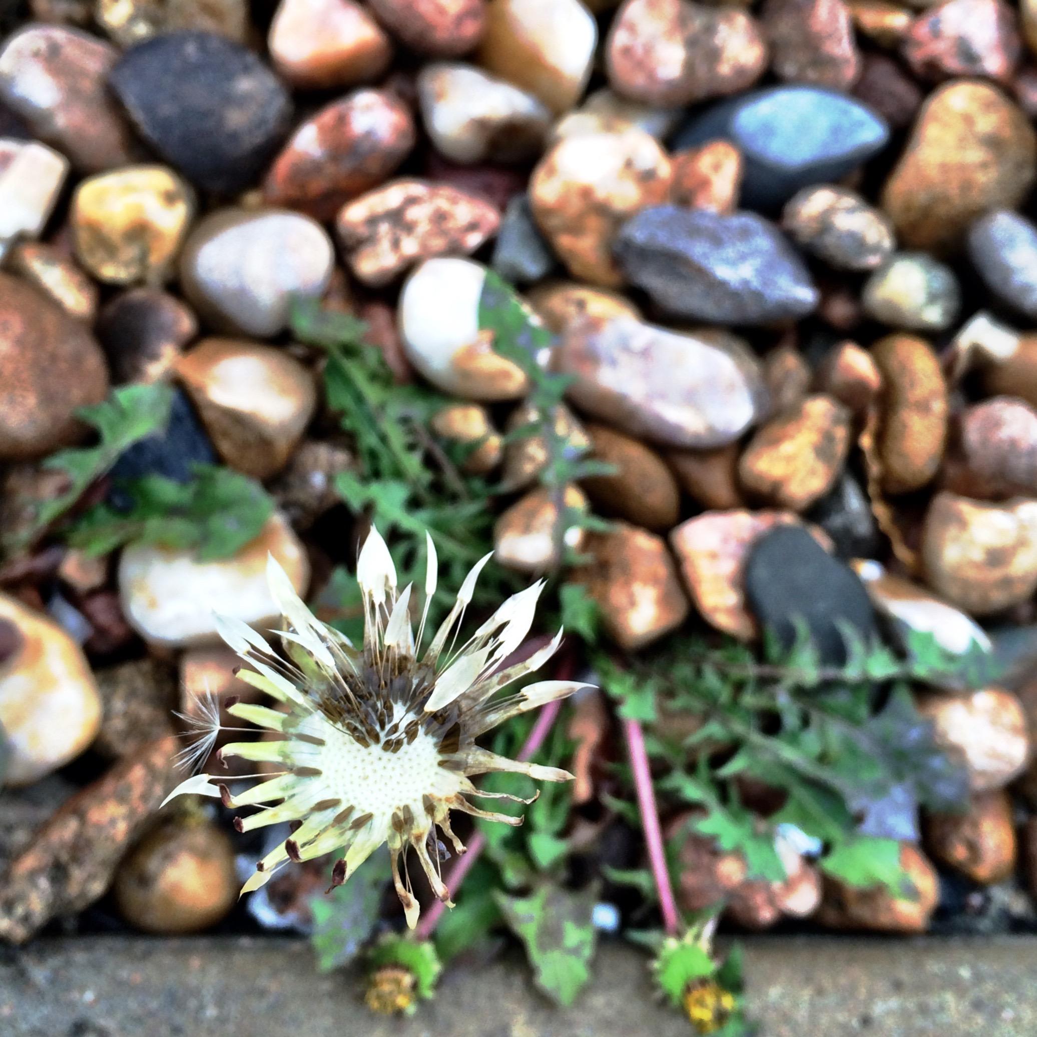 dying-dandelion-at-starbucks.jpg
