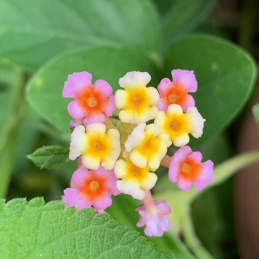 Lantana Camara - Miniature flower boquet