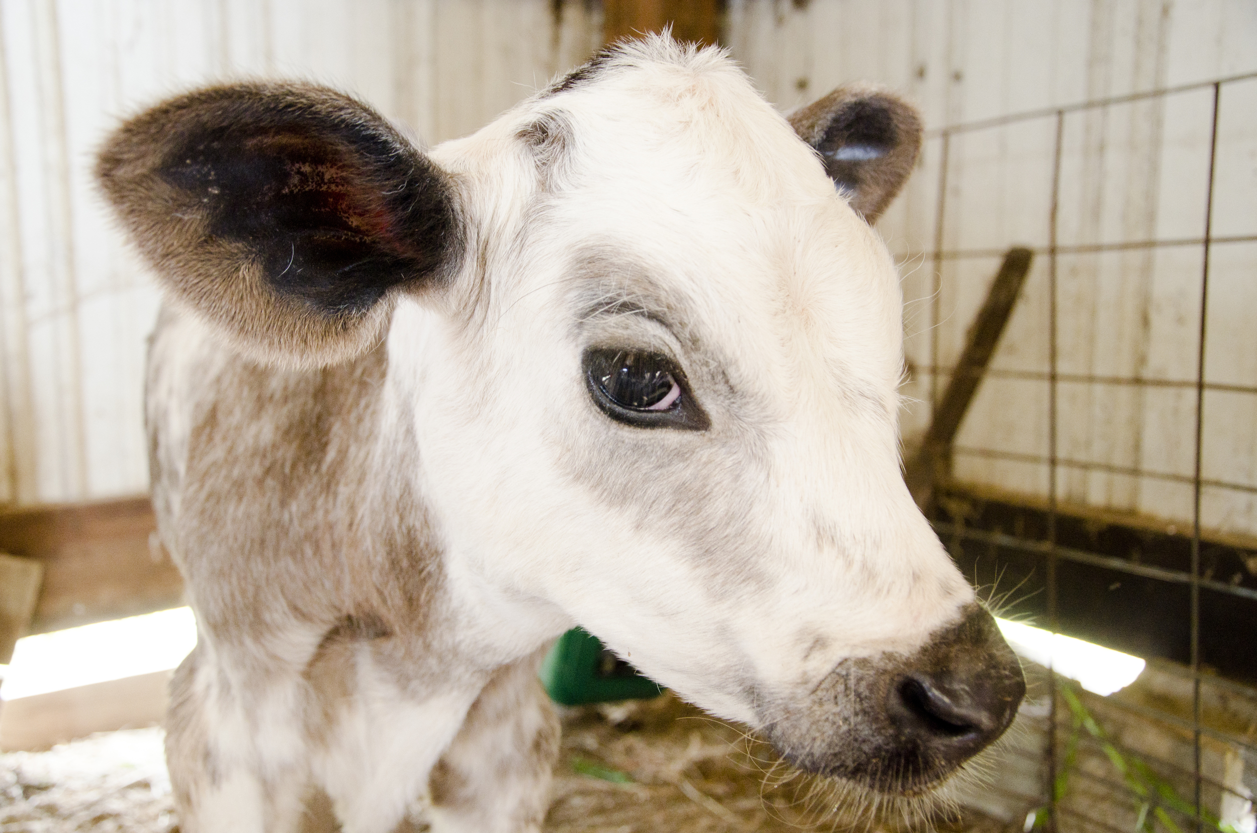 Happy cows live at Snowville Creamery.