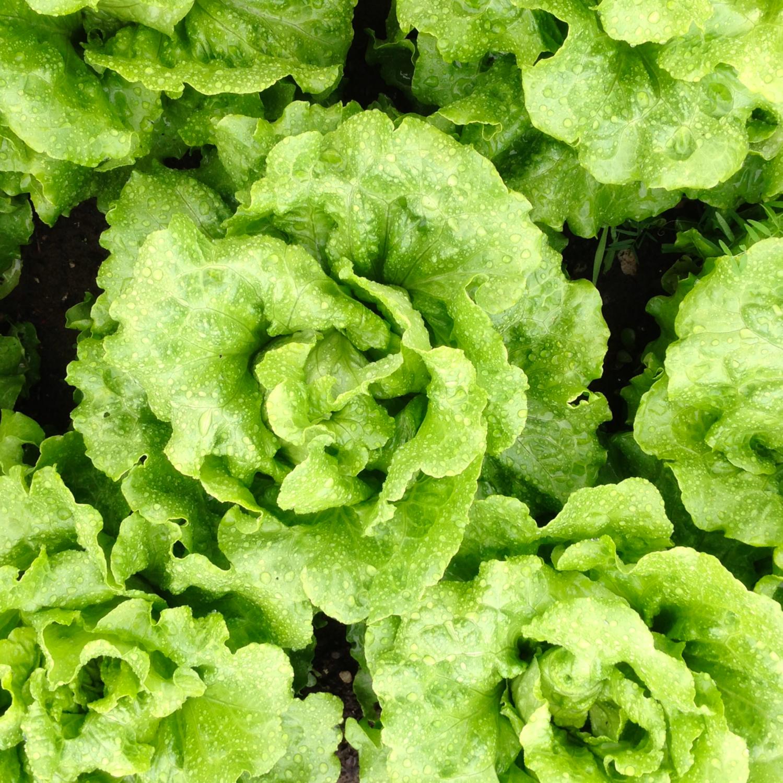 Lettuce_Square.jpeg