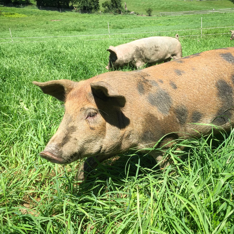Pig_in_Pasture.jpeg