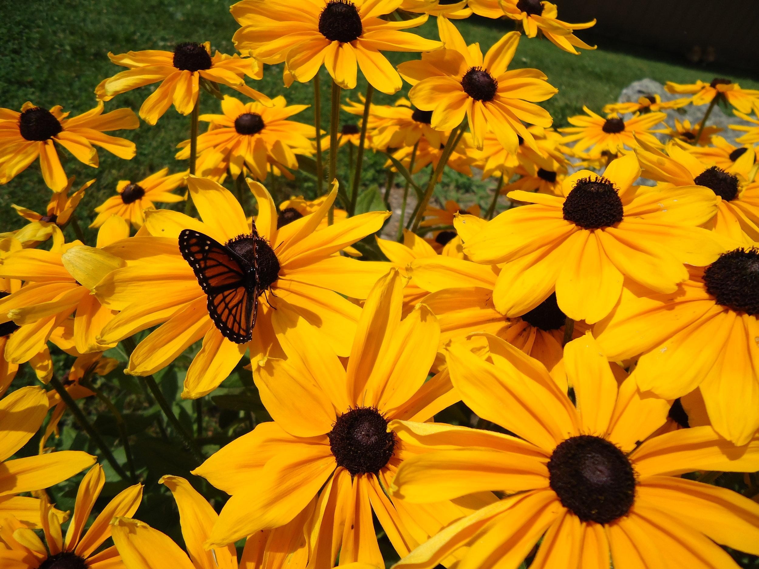 Echincea w butterfly.jpeg