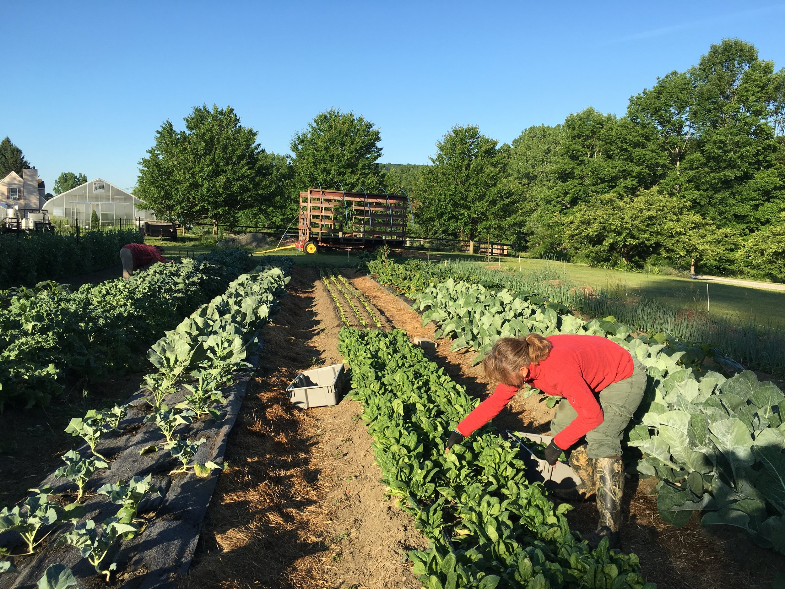 We harvest your vegetables less than 24 hours before you pick them up—often that morning!