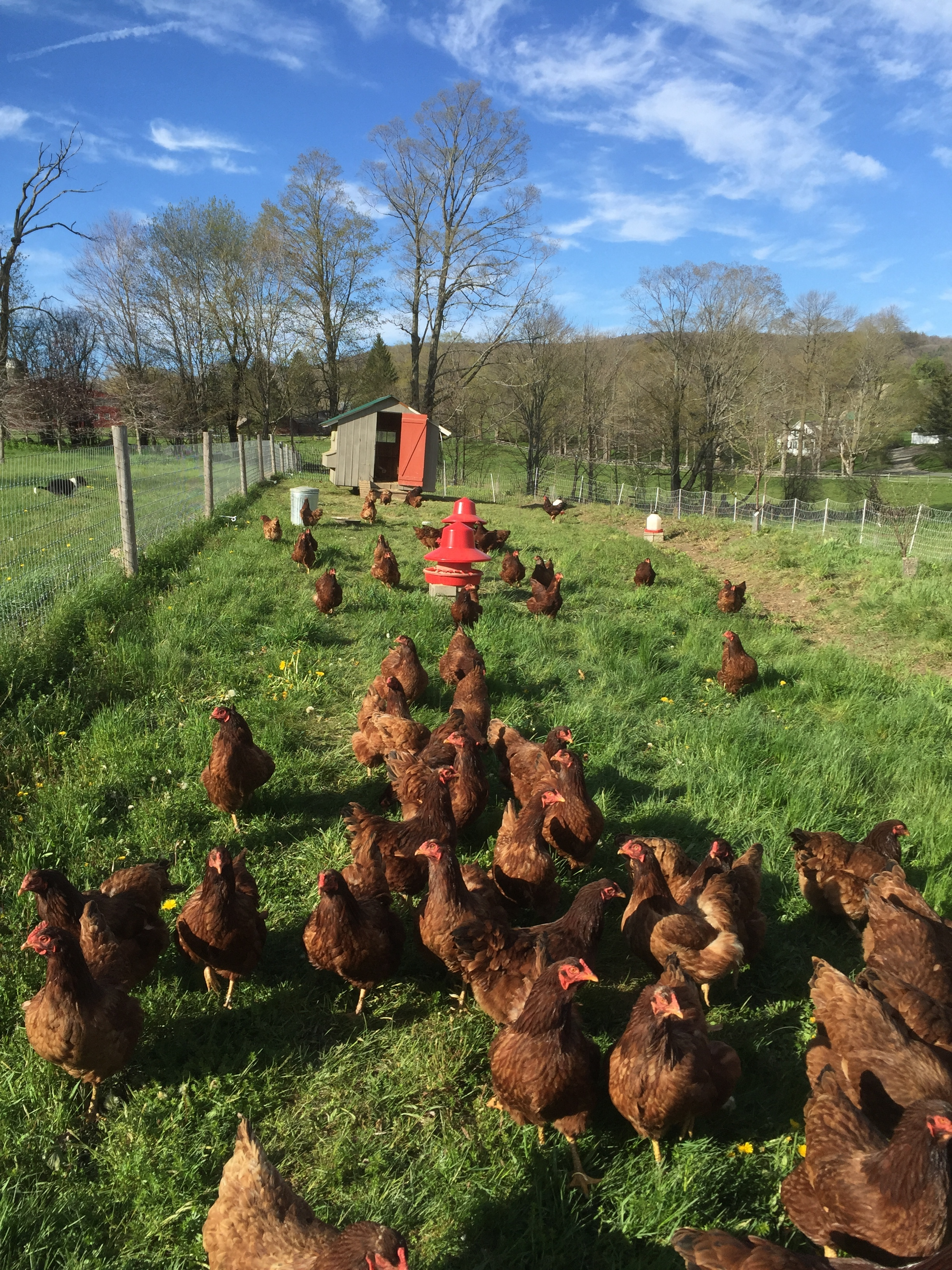 Our heritage Buckeye chickens foraging on pasture.