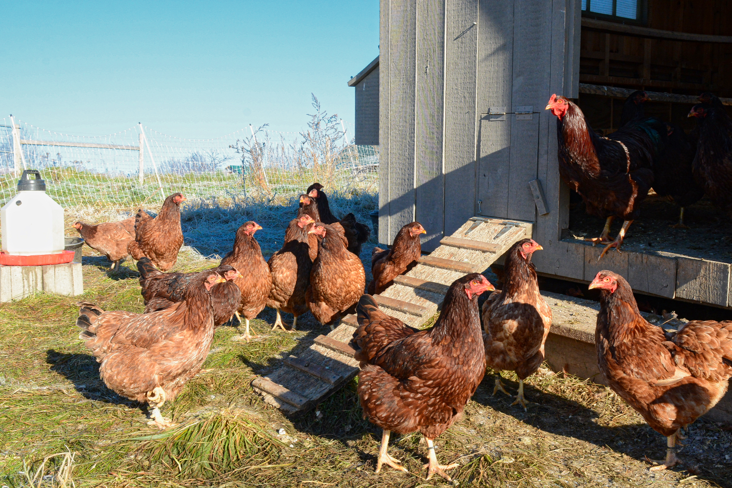 Rooster & hens in mobile house