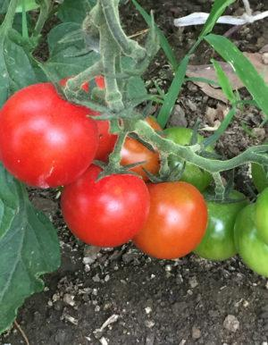 Organic heirloom tomatoes at Red Shirt Farm  Photo by Emma Bailey Ryan