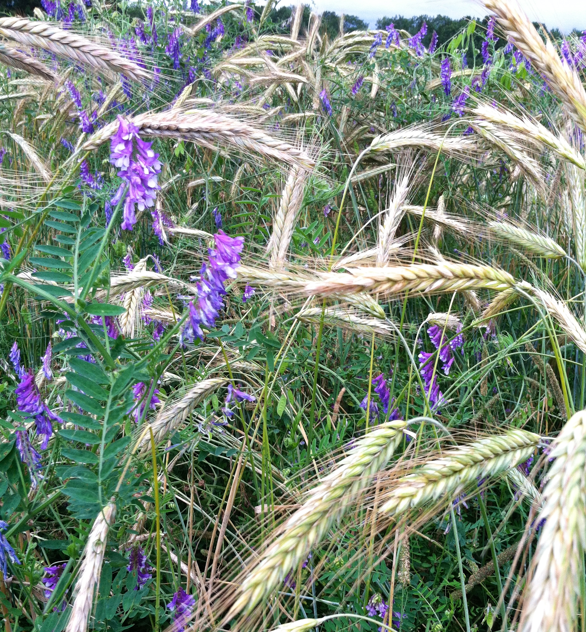 The rye and vetch get me every time. Those colors.
