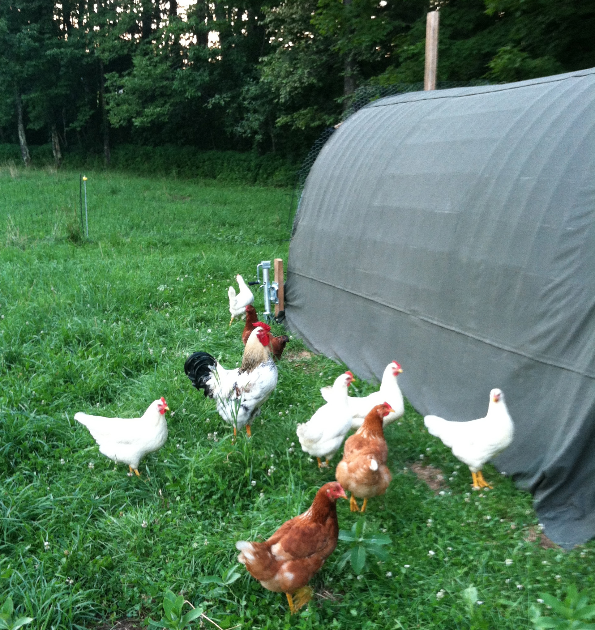 chickens contemplating how to get out of their fencing, no doubt.