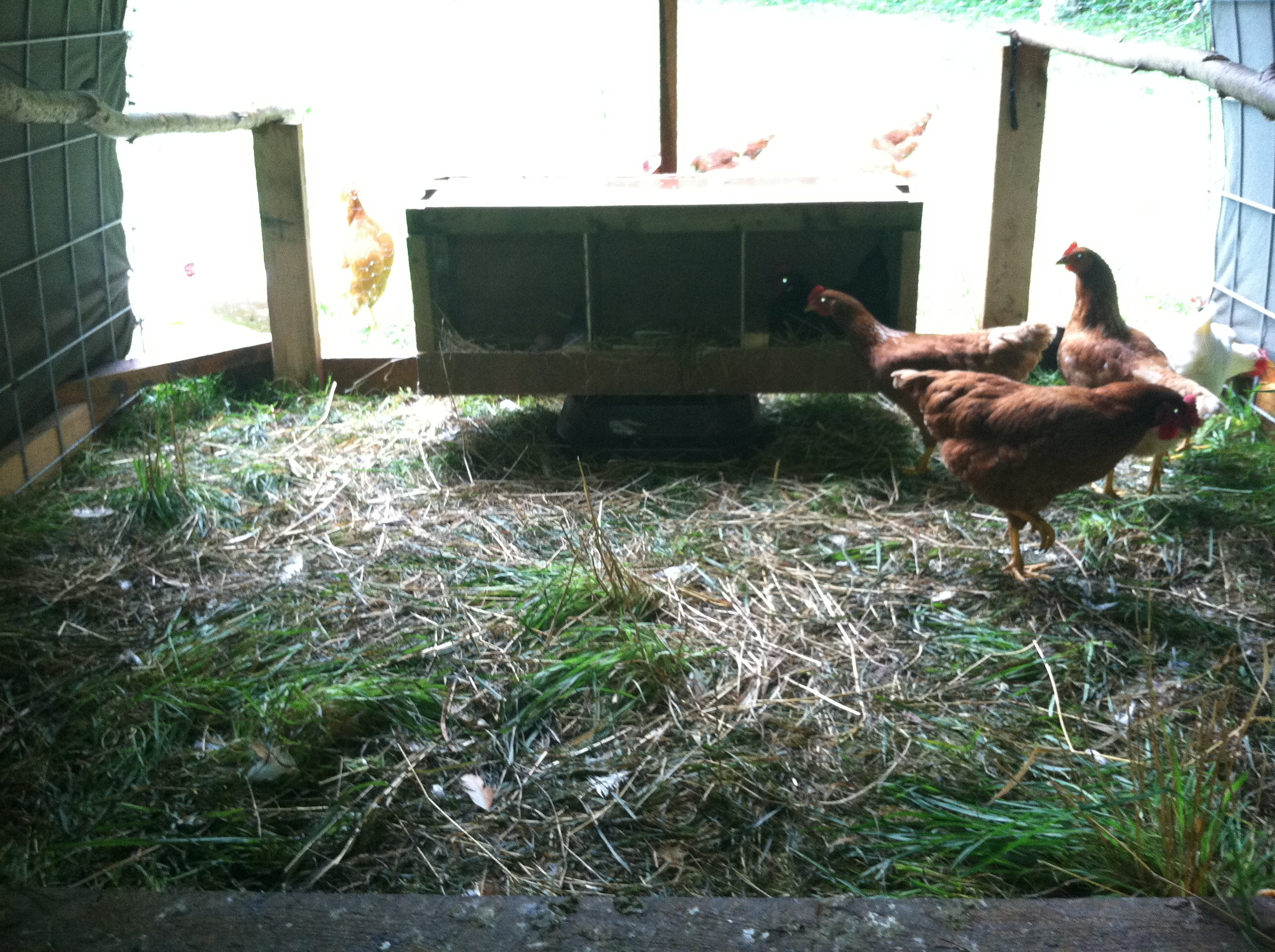 Our ladies are finally laying! I love our little flock, though now I am wishing for more hens so we can take more than 5 or 6 dozen eggs to market.