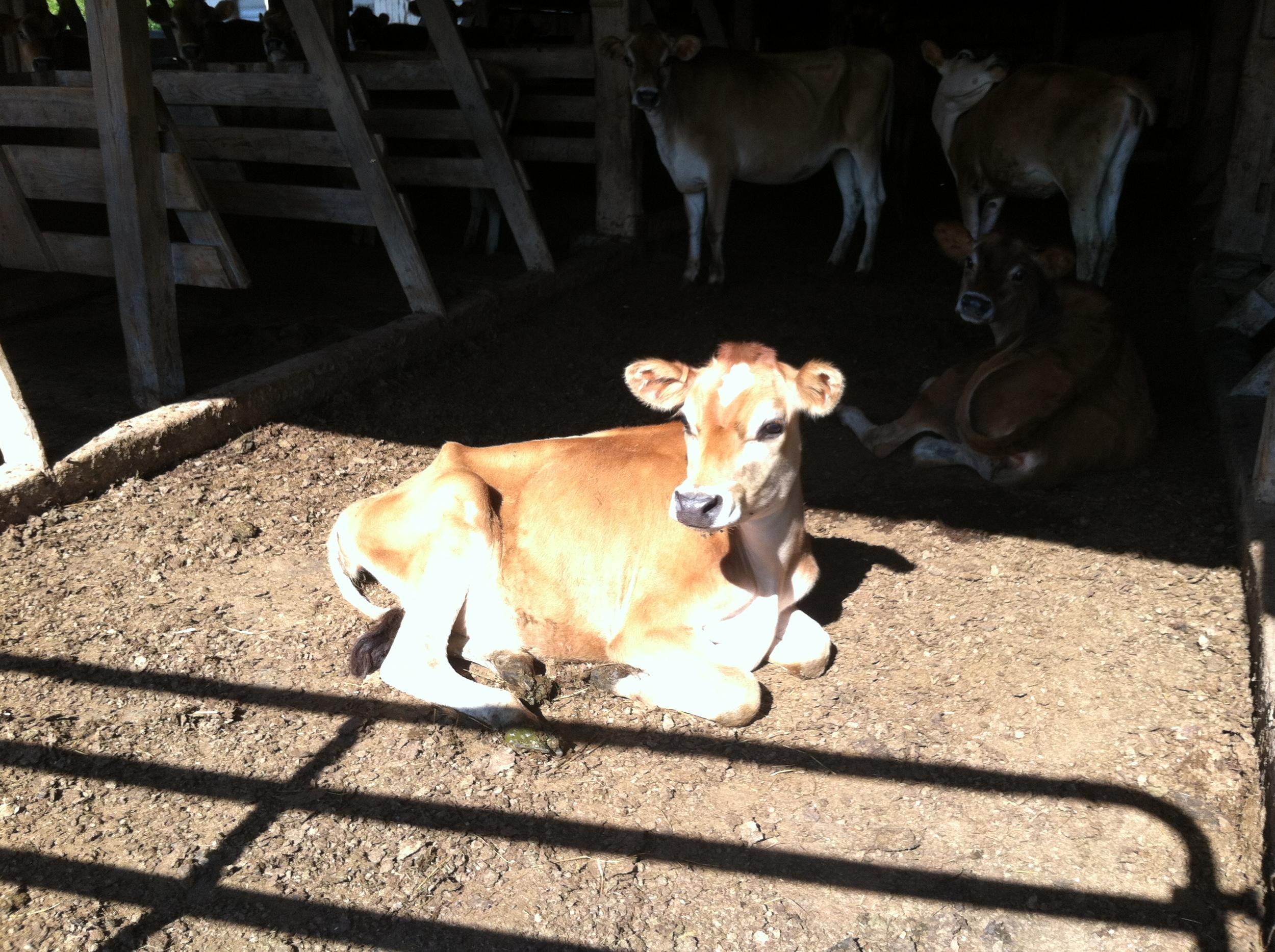 Wee heifer sunning herself.