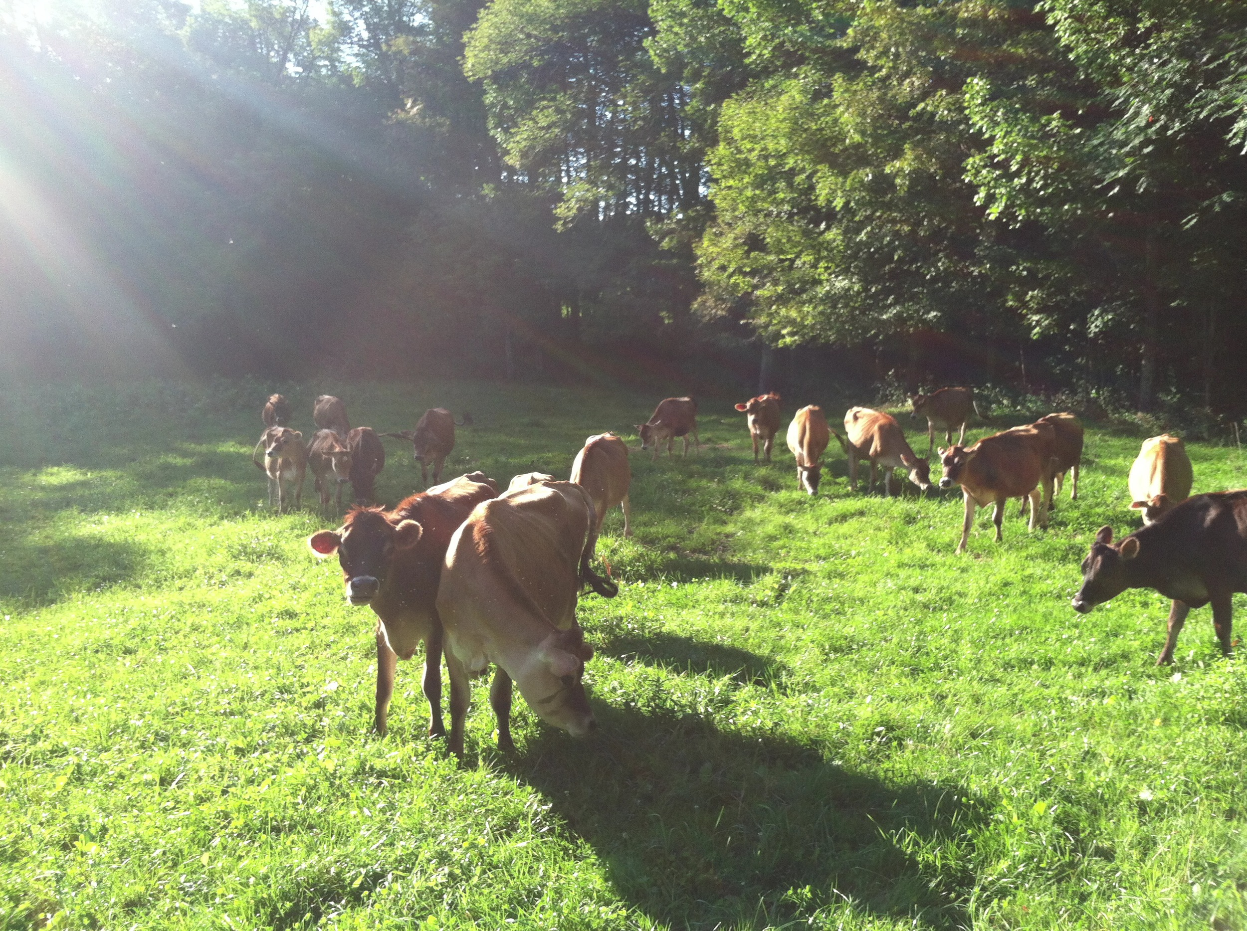 These heifers sunning their fine selves.