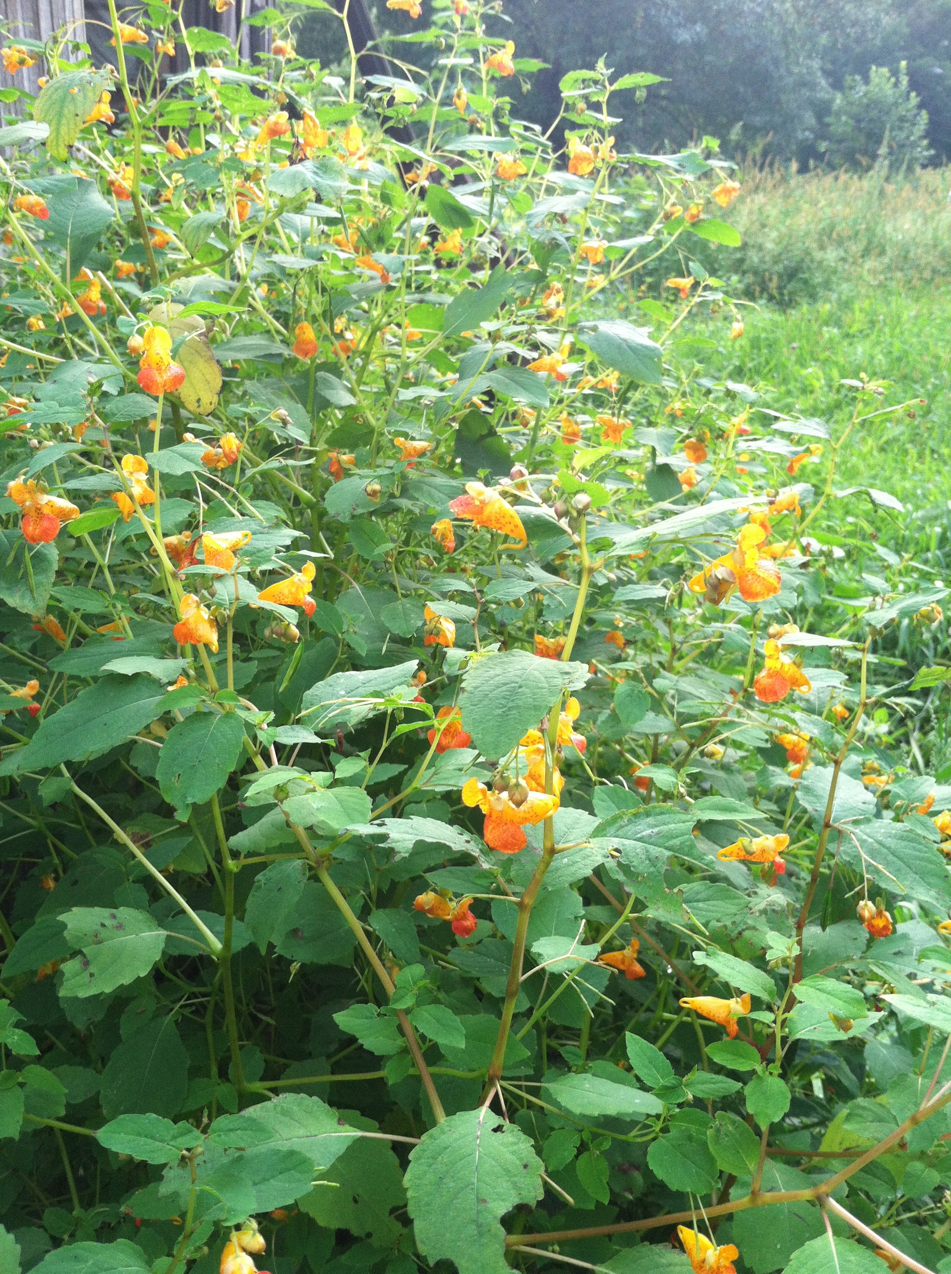 jewelweed abounds.