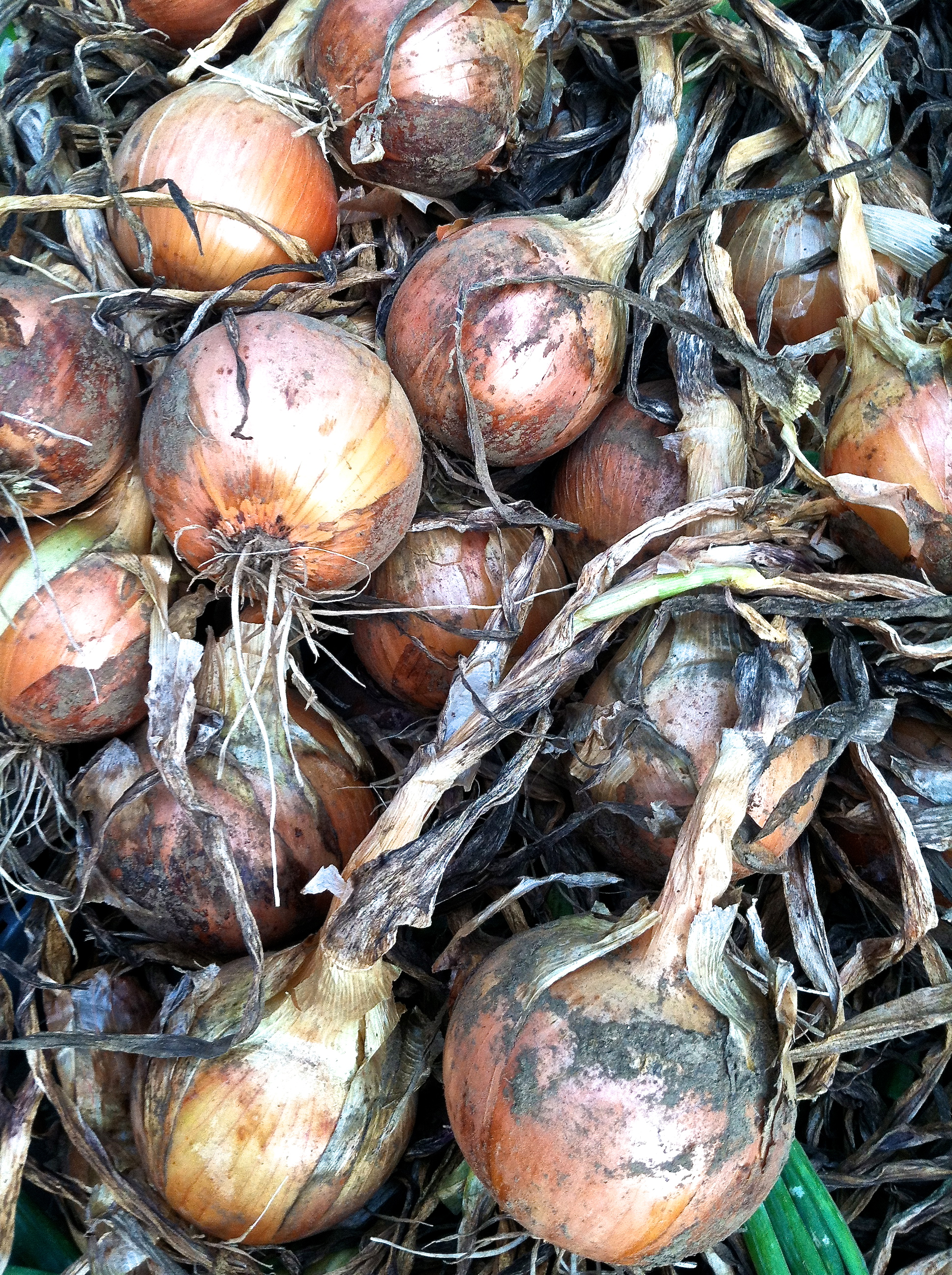 continuing the onion harvest.