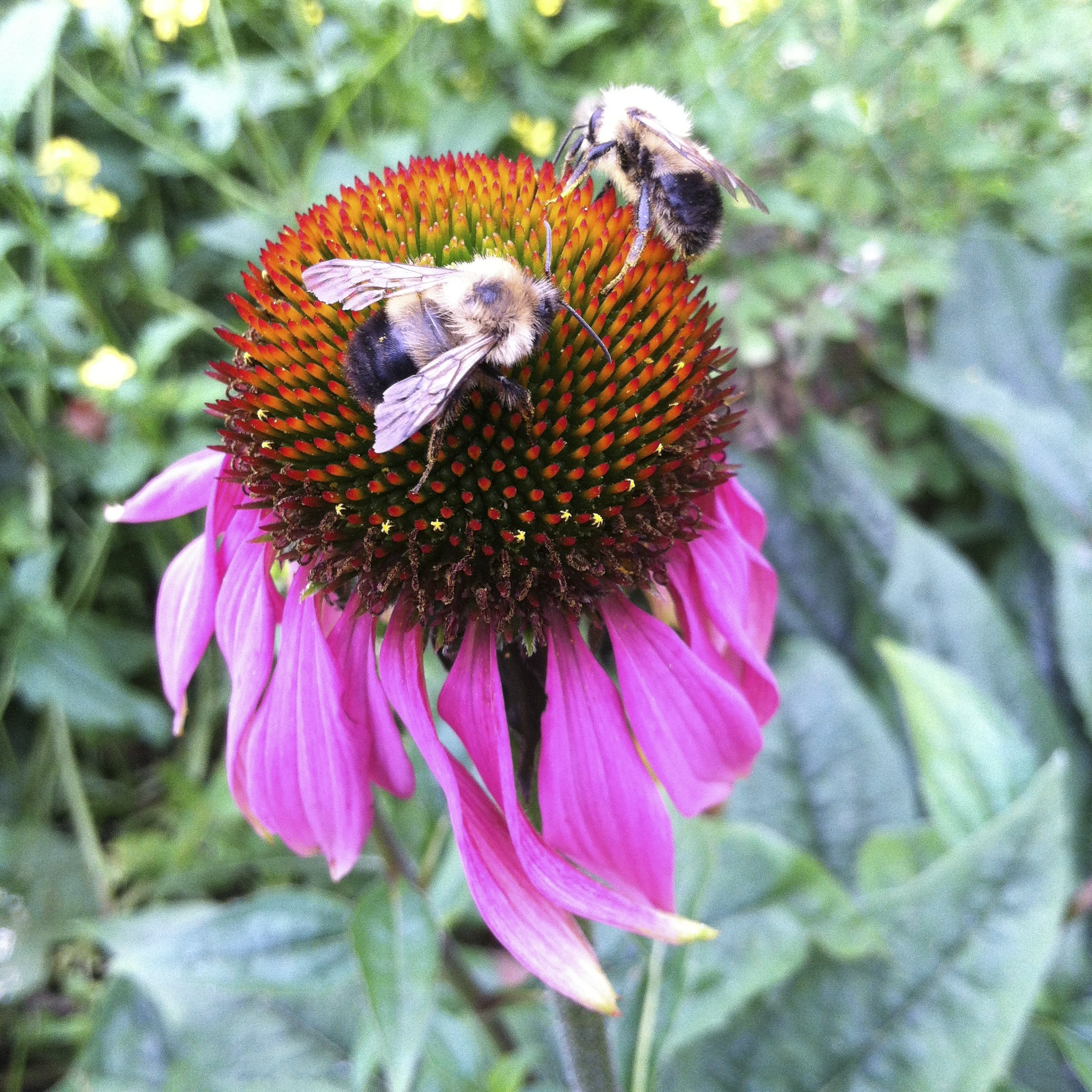 Echinacea going strong. Bumbles getting the last of the good stuff.
