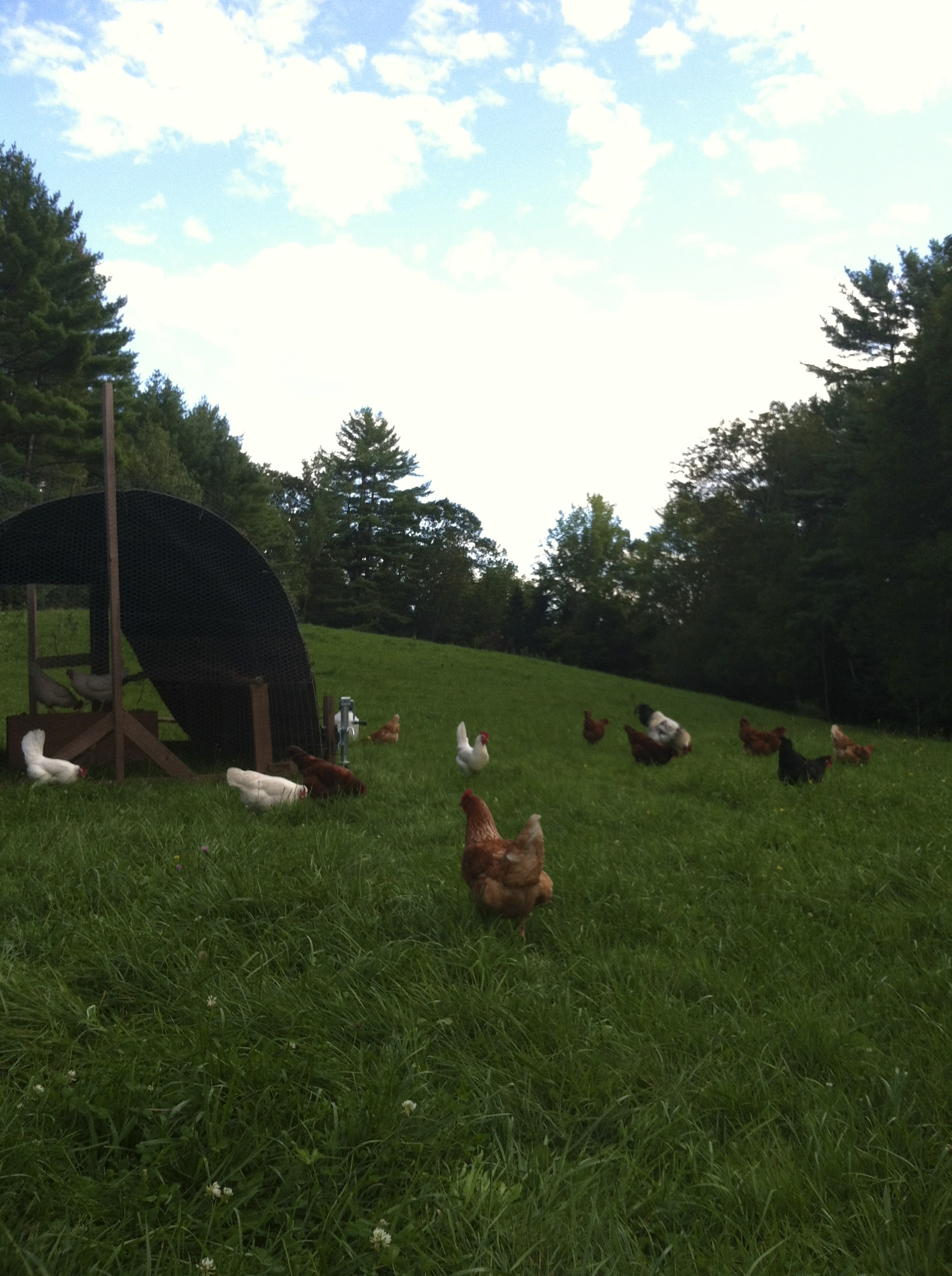 Last photo of the chickens on pasture.
