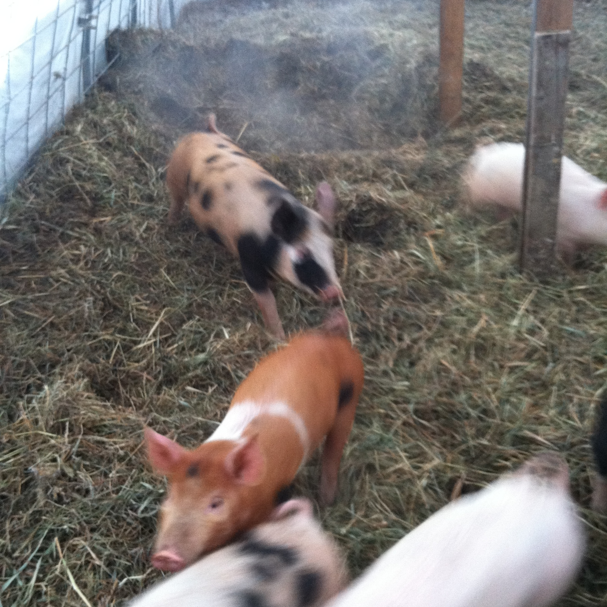 The pigs keep in warm in the hoophouse. Note the steam.