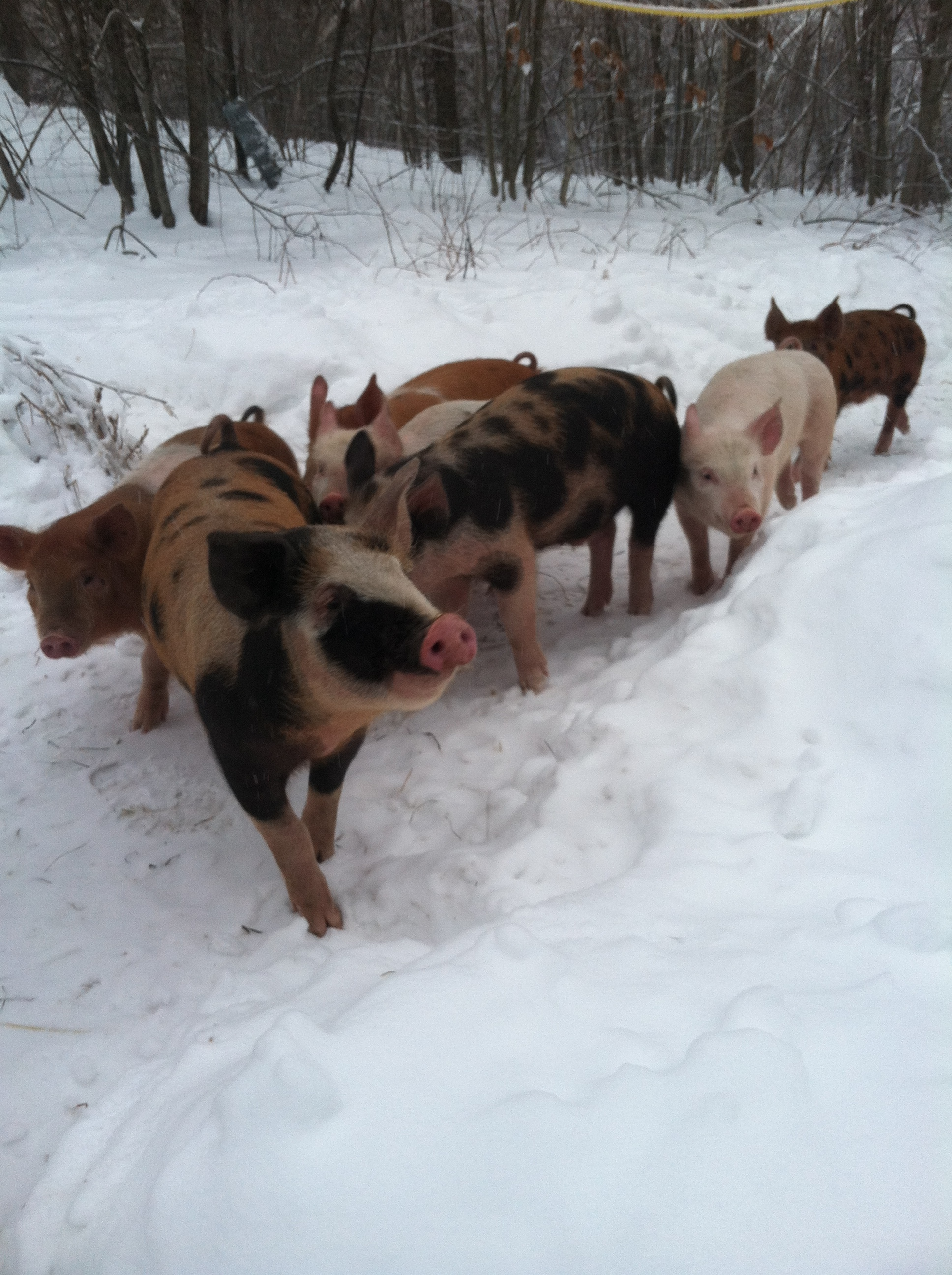 I love me a batch of winter pigs.