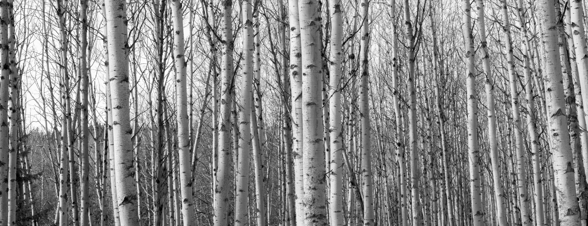 Sea of Birch