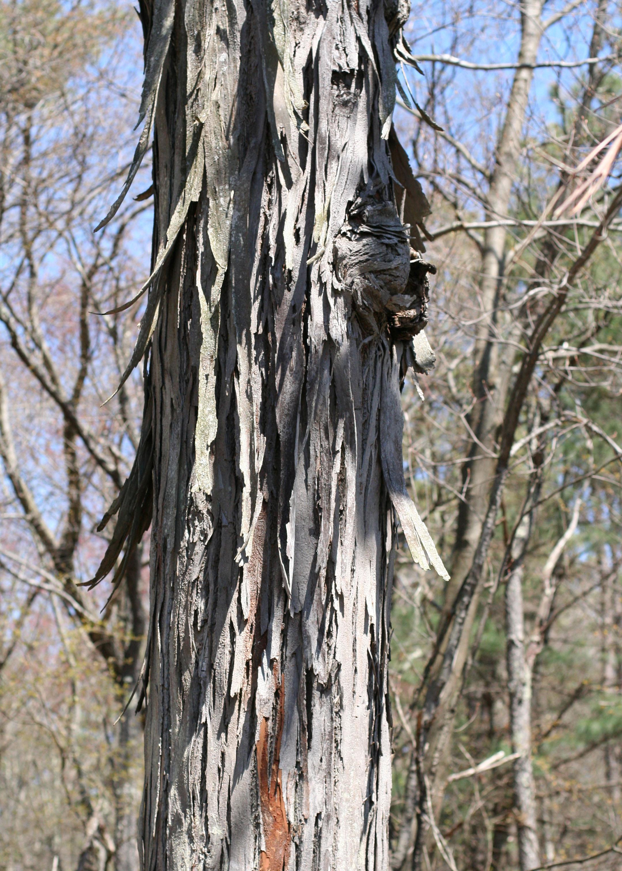 shaggy bark tree.jpg