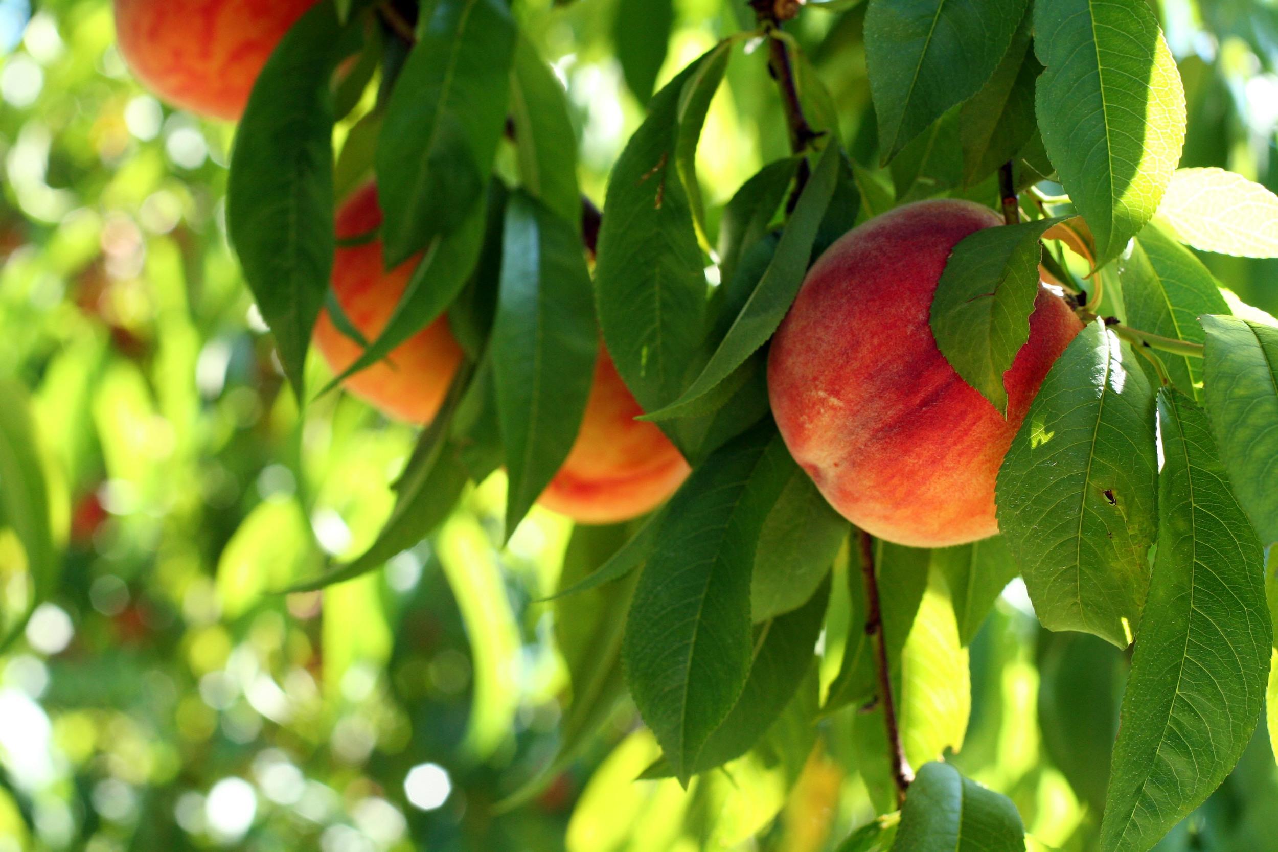 peaches in tree intimate.jpg