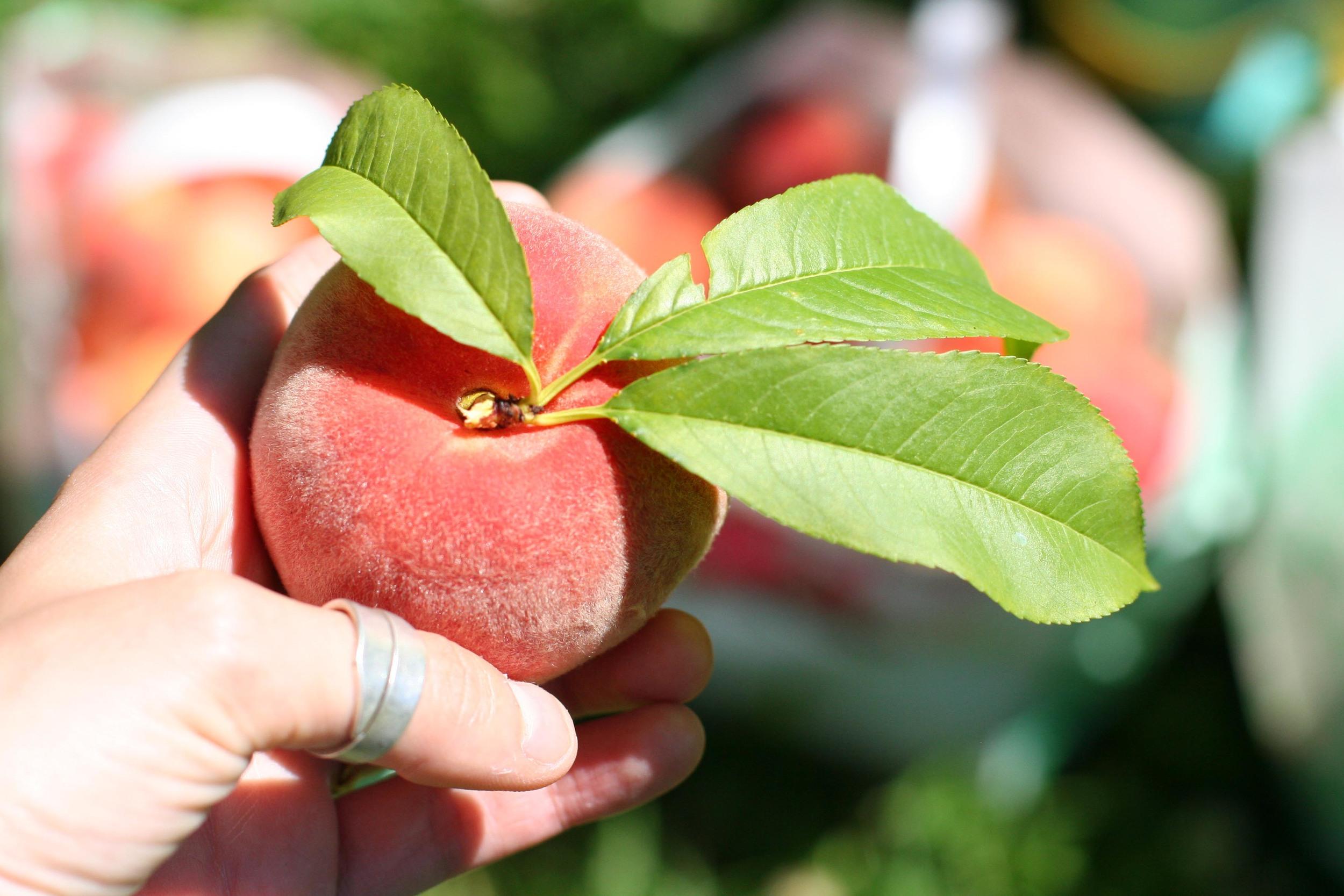 peach in hand.jpg