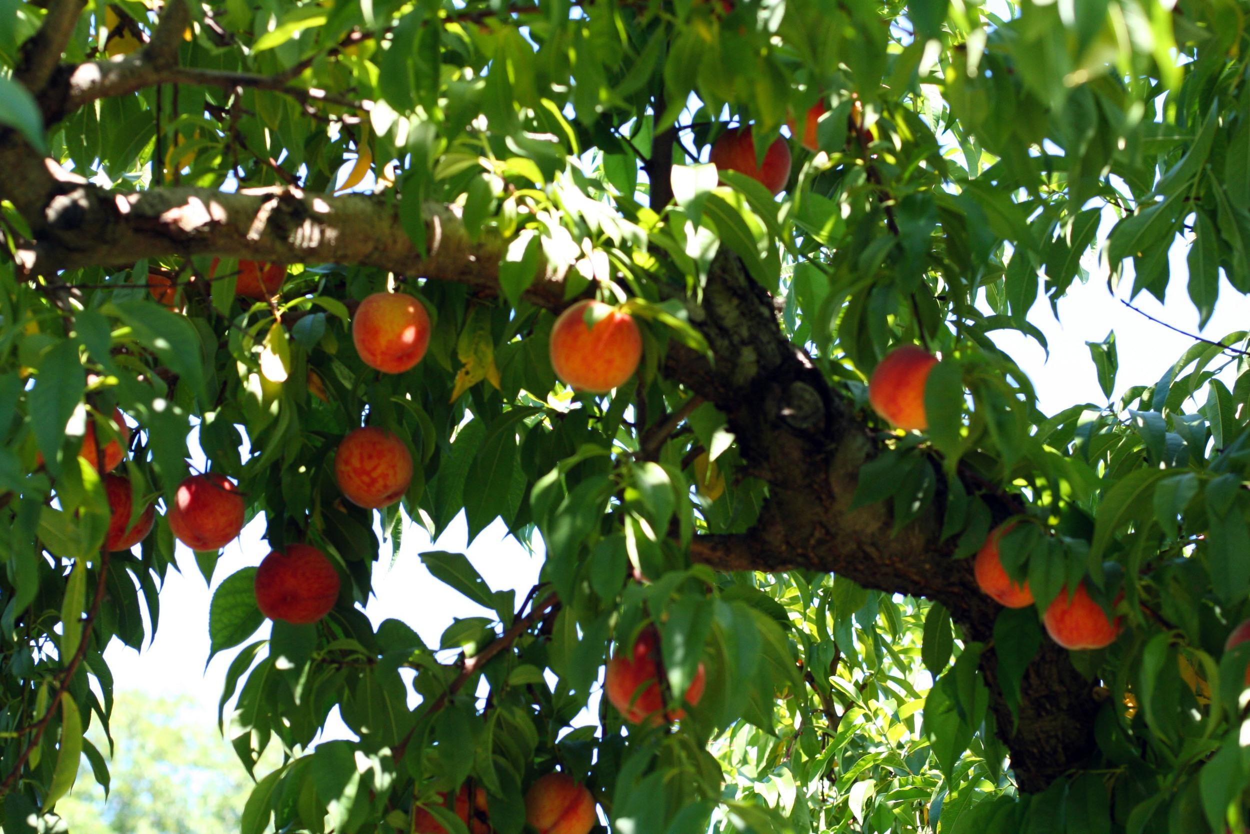peaches orbs in trees 2.jpg