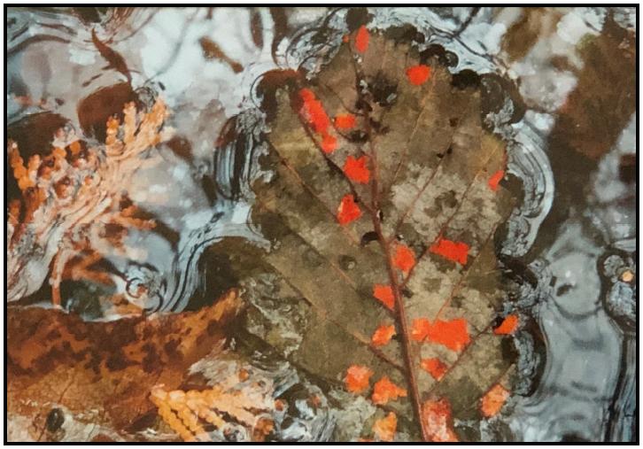Leaf with Orange Fungus  Digital photo by Elizabeth Blair