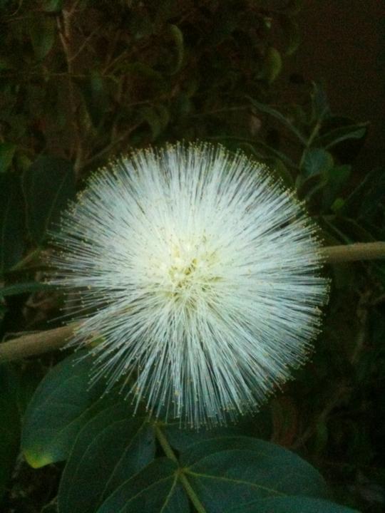 Calliandra inaequilatera 'Alba'.jpg