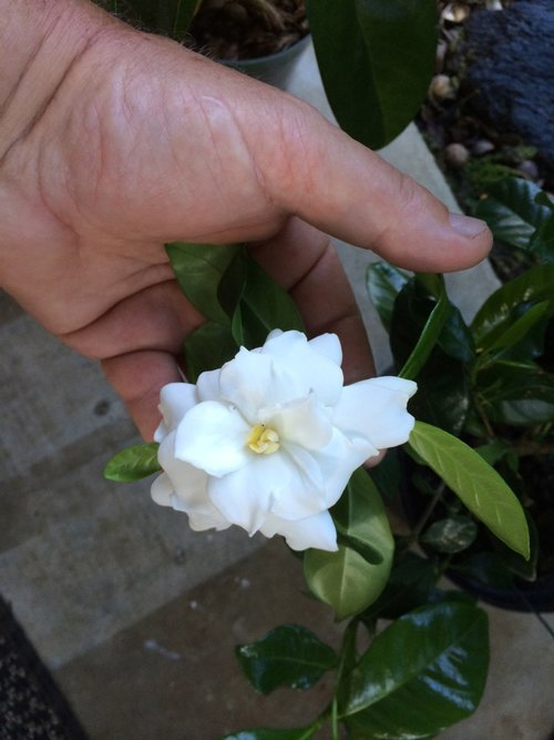 Gardenia Jasminoides Veitchii Vintage Green Farms With Tom
