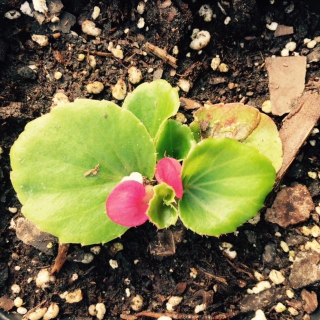 Begonia Rose2.jpg