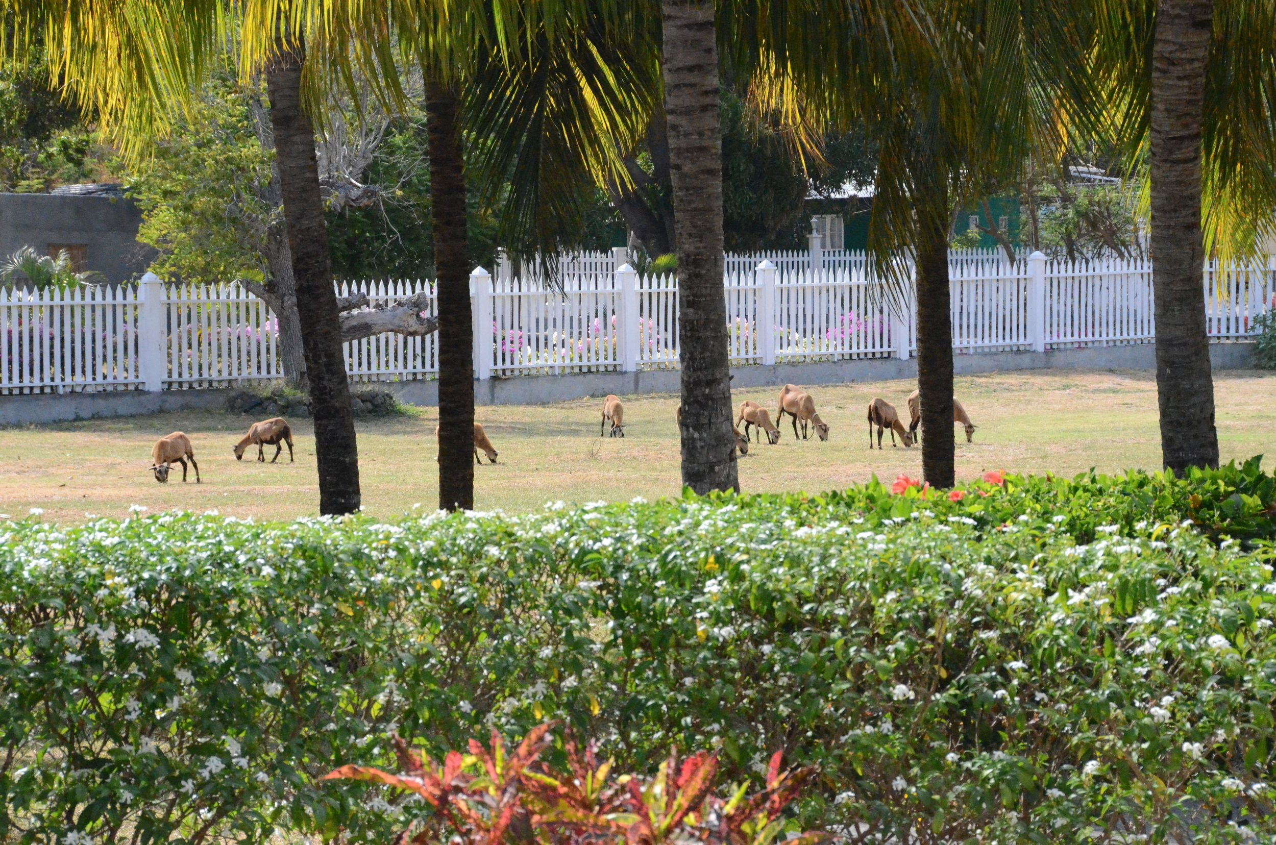 View of goats on the property from the pool