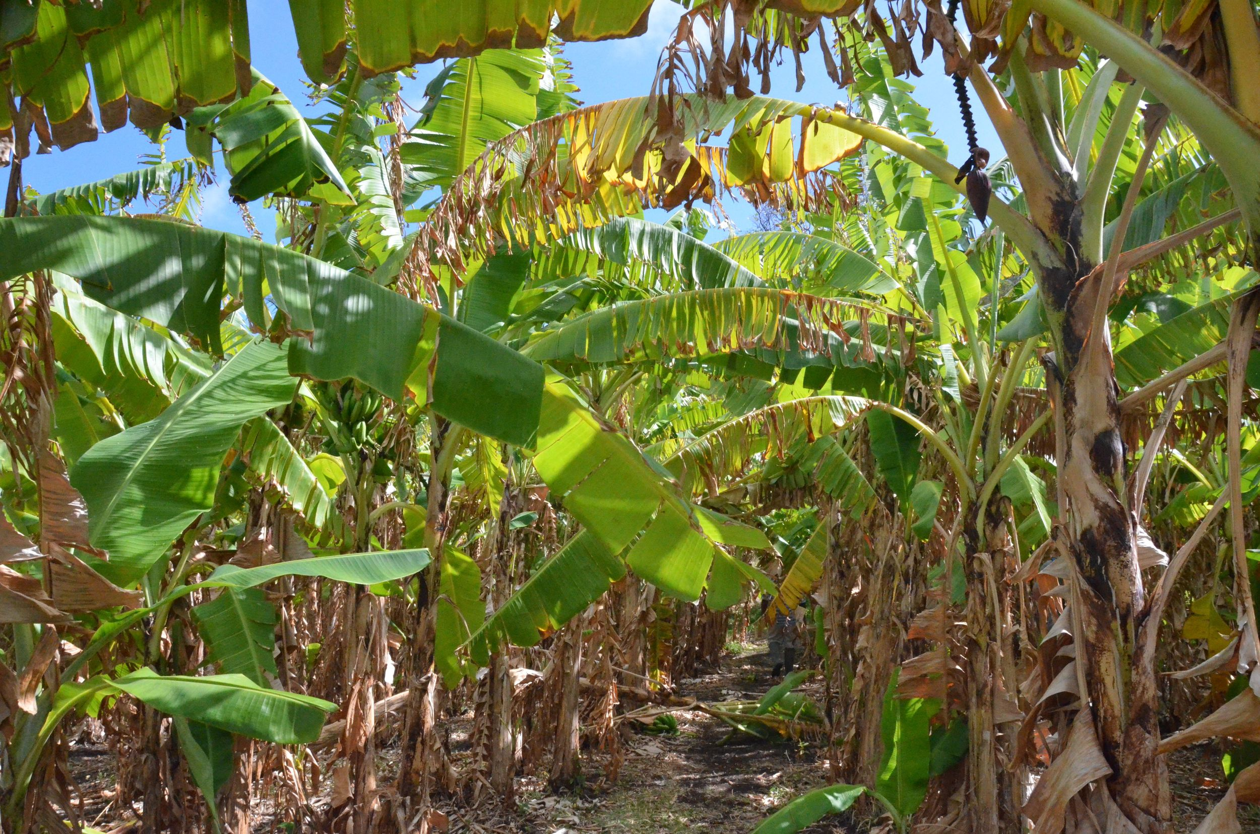 Firefly Banana Trees