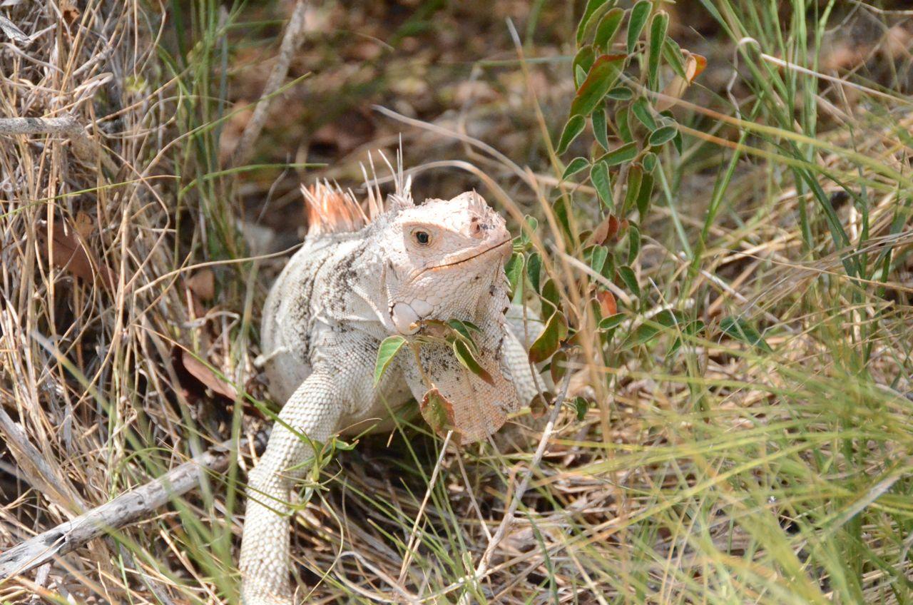Tobago Cays - lizard.jpg